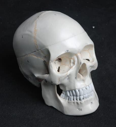 Cráneo plástico para artistas
